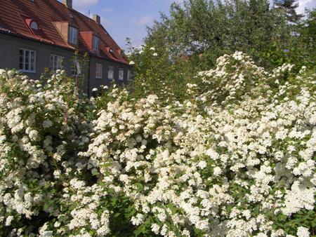 Hardføre busker til hagen